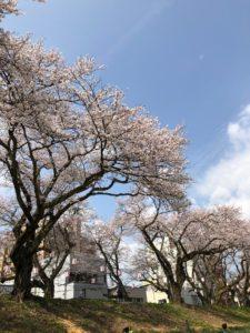 福井県の足羽河原の桜