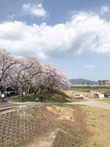 福井市足羽川桜並木
