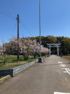 坂井市の桜