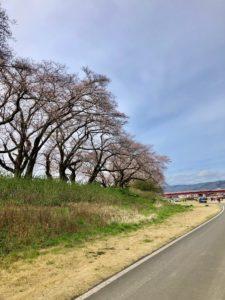 足羽河原の桜